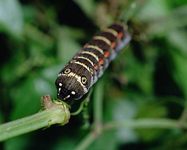 Impatiens Hawk Moth (Theretra oldenlandiae) caterpillar, Shiga, Japan  -  Mitsuhiko Imamori