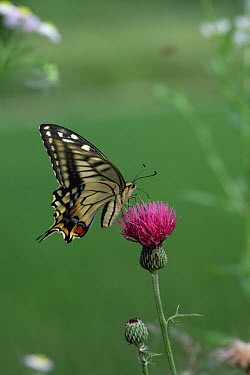 Oldworld Swallowtail (Papilio machaon), on thistle, Shiga, Japan  -  Mitsuhiko Imamori
