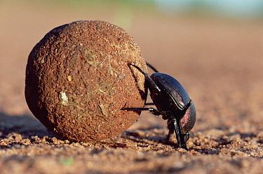 Dung Beetle (Scarabaeidae) rolling dung ball, Kenya  -  Mitsuhiko Imamori