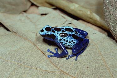 Blue Poison Dart Frog (Dendrobates azureus) very tiny poisonous frog, Indian tribes use poison for arrows, native to South America  -  Mitsuhiko Imamori