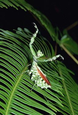 Praying Mantis, Asia  -  Mitsuhiko Imamori