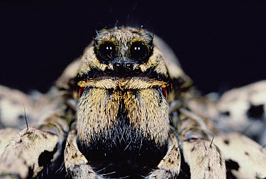 Close up of Trapdoor Spider, France  -  Mitsuhiko Imamori
