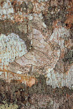 Noctuid Moth (Catocala sp) camouflaged against tree trunk, Asia  -  Mitsuhiko Imamori