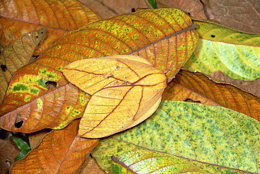 Moth, camouflaged against leaves on tropical rainforest floor, Colombia  -  Mitsuhiko Imamori