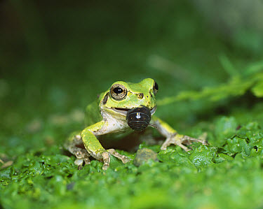 Japanese Tree Frog (Hyla japonica) eating a Common Pillbug (Armadillidium vulgare), Shiga, Japan  -  Mitsuhiko Imamori