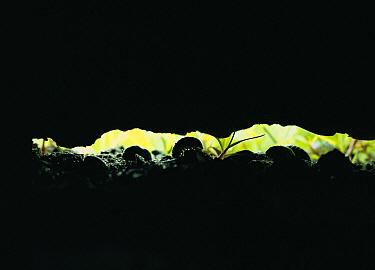 Common Pillbug (Armadillidium vulgare) group living under a log in typical damp habitat, worldwide distribution  -  Mitsuhiko Imamori