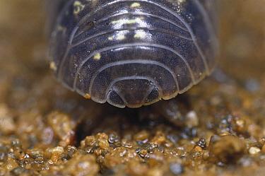 Common Pillbug (Armadillidium vulgare) adult backside, worldwide distribution  -  Mitsuhiko Imamori