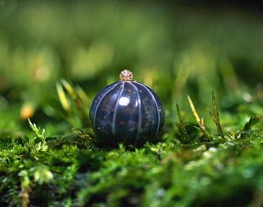 Common Pillbug (Armadillidium vulgare) adult rolled into protective ball, worldwide distribution  -  Mitsuhiko Imamori