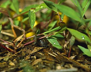 Common Pillbug (Armadillidium vulgare) in typical habitat, worldwide distribution  -  Mitsuhiko Imamori
