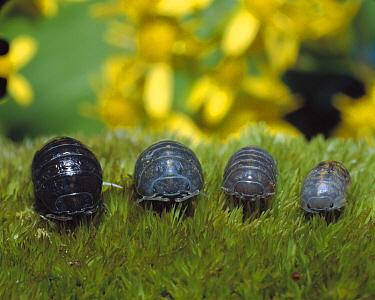 Common Pillbug (Armadillidium vulgare) group of four various ages, worldwide distribution  -  Mitsuhiko Imamori