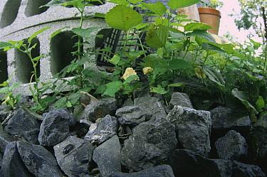 Common Pillbug (Armadillidium vulgare) in typical garden habitat, worldwide distribution  -  Mitsuhiko Imamori