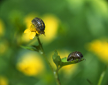 Common Pillbug (Armadillidium vulgare) pair climbing on garden plants, worldwide distribution  -  Mitsuhiko Imamori