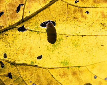 Common Pillbug (Armadillidium vulgare) peeking through a leaf hole, worldwide distribution  -  Mitsuhiko Imamori