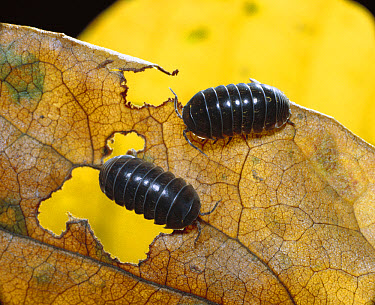 Common Pillbug (Armadillidium vulgare) pair feeding on leaf, worldwide distribution  -  Mitsuhiko Imamori