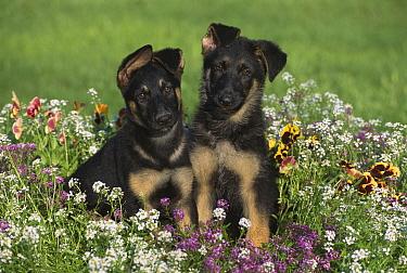 German Shepherd (Canis familiaris) portrait of two alert puppies sitting among alyssum and pansies  -  Mark Raycroft