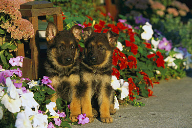 German Shepherd (Canis familiaris) portrait of two puppies sitting among petunias and impatiens along a garden path  -  Mark Raycroft