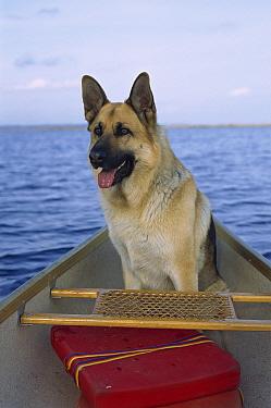 German Shepherd (Canis familiaris) adult sitting in a canoe  -  Mark Raycroft