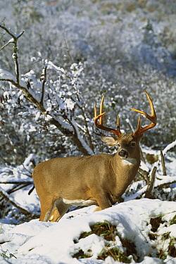 White-tailed Deer (Odocoileus virginianus) buck standing in snow  -  Mark Raycroft