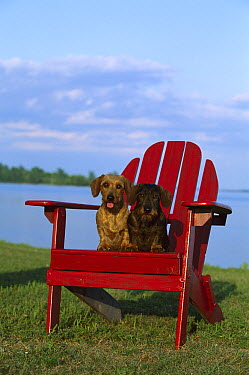 Miniature Wire-haired Dachshund (Canis familiaris) pair sitting together in red Adirondack chair  -  Mark Raycroft