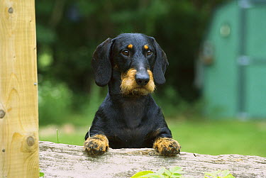 Standard Wire-haired Dachshund (Canis familiaris) portrait of an adult with its front paws up on a fence  -  Mark Raycroft