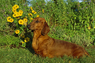 Standard Smooth Dachshund (Canis familiaris) portrait of adult in garden with daisies in the background  -  Mark Raycroft