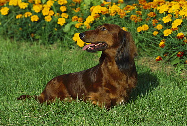 Standard Long-haired Dachshund (Canis familiaris) adult standing on lawn with Marigolds in the background  -  Mark Raycroft