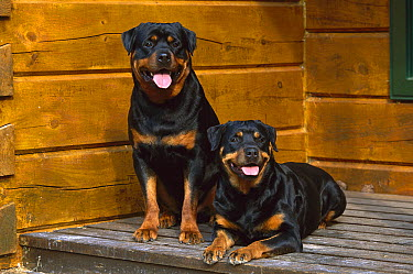 Rottweiler (Canis familiaris) pair of adults resting on a porch  -  Mark Raycroft