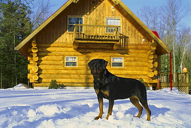 Rottweiler (Canis familiaris) adult standing in snow outside of a home  -  Mark Raycroft