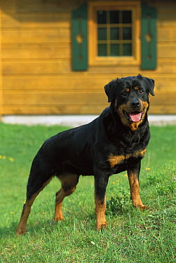 Rottweiler (Canis familiaris) adult standing on lawn outside of a home  -  Mark Raycroft