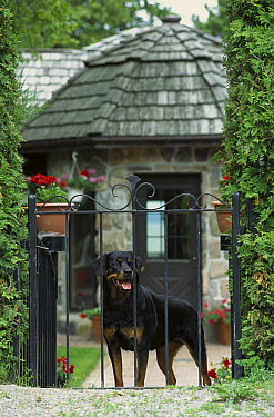 Rottweiler (Canis familiaris) adult peering through a gate outside of a home  -  Mark Raycroft