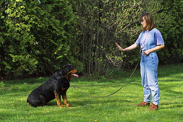 Rottweiler (Canis familiaris) being trained by a woman to sit and stay  -  Mark Raycroft