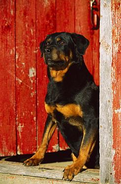 Rottweiler (Canis familiaris) adult sitting in doorway  -  Mark Raycroft