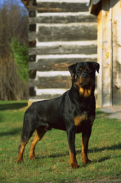 Rottweiler (Canis familiaris) adult male standing on lawn outside of a home  -  Mark Raycroft