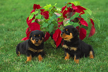 Rottweiler (Canis familiaris) two puppies on lawn with poinsettia plant  -  Mark Raycroft