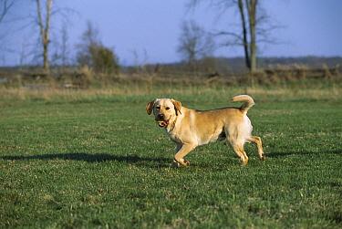 Yellow Labrador Retriever (Canis familiaris) playing fetch with a tennis ball  -  Mark Raycroft