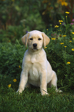 Yellow Labrador Retriever (Canis familiaris) portrait of a puppy sitting on grassy lawn near daisies  -  Mark Raycroft