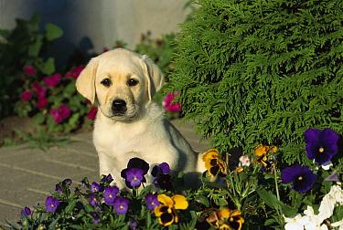 Yellow Labrador Retriever (Canis familiaris) portrait of puppy sitting among pansies  -  Mark Raycroft