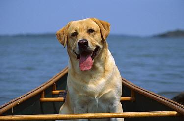 Yellow Labrador Retriever (Canis familiaris) adult going for a canoe ride  -  Mark Raycroft