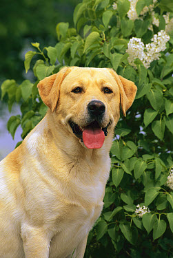 Yellow Labrador Retriever (Canis familiaris) portrait of adult dog sitting in front of blooming white lilac bush in garden  -  Mark Raycroft