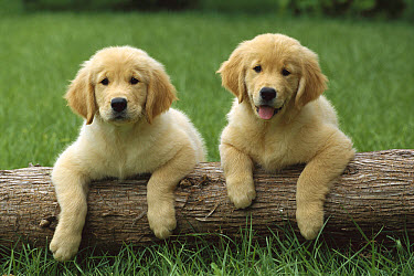 Golden Retriever (Canis familiaris) puppies together with front paws up on a log  -  Mark Raycroft