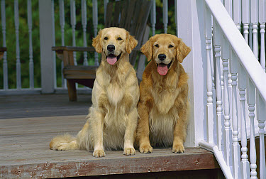 Golden Retriever (Canis familiaris) two adults sitting together on front porch  -  Mark Raycroft