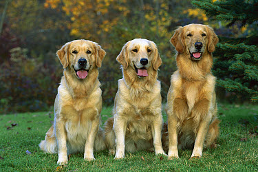 Golden Retriever (Canis familiaris) three adults  -  Mark Raycroft