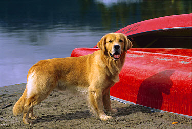 Golden Retriever (Canis familiaris) alert adult standing on lake shore with canoes  -  Mark Raycroft