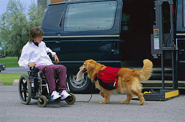 Golden Retriever (Canis familiaris) companion and helper to handicapped owner, retrieves fallen book  -  Mark Raycroft