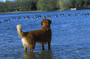 Golden Retriever (Canis familiaris) adult standing in lake watching a flock of geese  -  Mark Raycroft