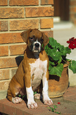 Boxer (Canis familiaris) fawn puppy next to flower pot  -  Mark Raycroft