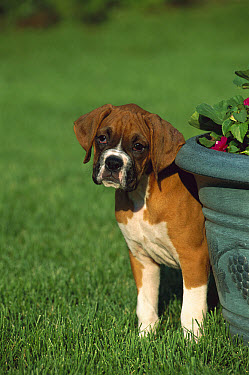 Boxer (Canis familiaris) fawn puppy hiding behind flower pot  -  Mark Raycroft
