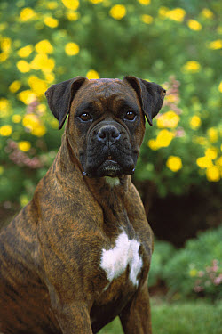 Boxer (Canis familiaris) brindle with black mask and natural ears  -  Mark Raycroft