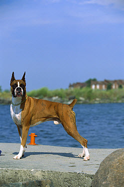Boxer (Canis familiaris) male standing on boat ramp  -  Mark Raycroft