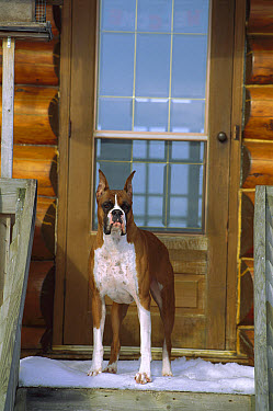 Boxer (Canis familiaris) standing at door waiting to get out of snow  -  Mark Raycroft